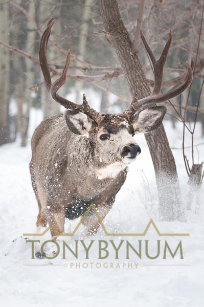 Mule deer buck photo - mule deer buck jumping though deep snow. © tony bynum