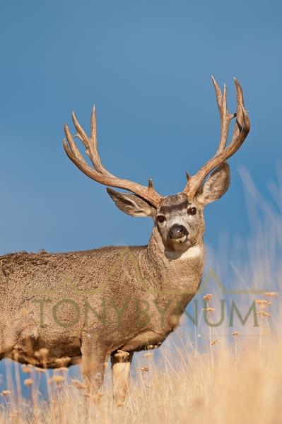 Mule deer buck photo - mule deer buck standing in tall grass. © tony bynum