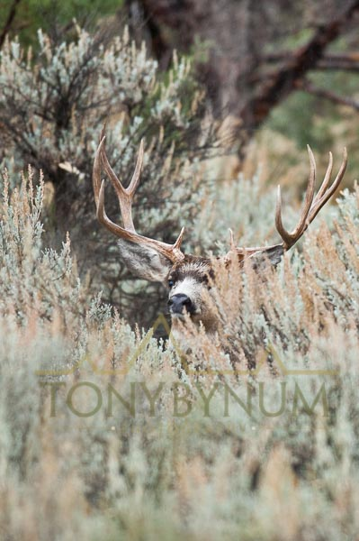 Mule deer buck photo - mule deer buck looking out from behind sage brush.    © tony bynum