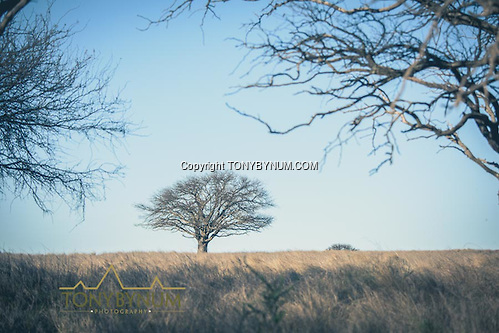 A large tree surrounded by grass prairie. La Pampa, Argentina ©tonybynum.com