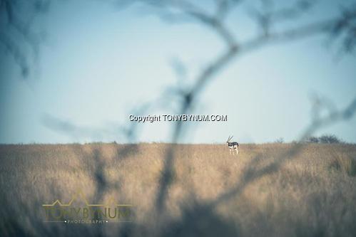 Blackbuck. La Pampa, Argentina ©tonybynum.com