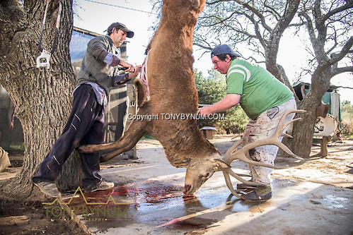 Skinners get to work on a trophy sized red stag from the Los Molles, Ranch. La Pampa, Argentina ©tonybynum.com
