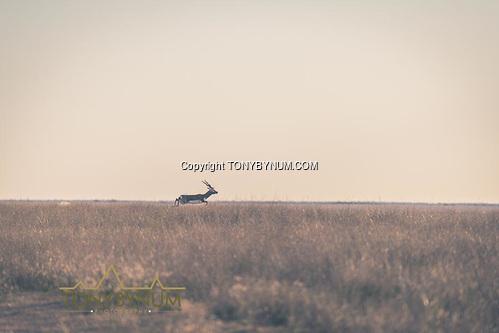 Blackbuck running - La Pampa, Argentina ©tonybynum.com