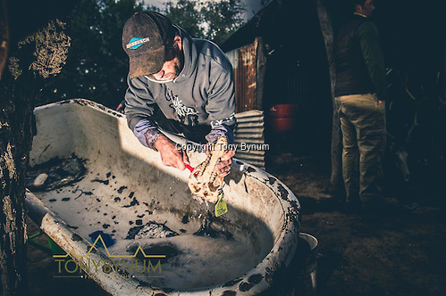 Skinner cleaning out the flesh and meat from a skull. La Pampa, Argentina ©tonybynum.com