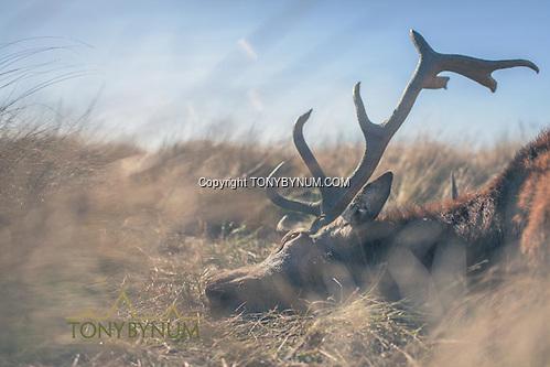 A red stag. La Pampa, Argentina ©tonybynum.com