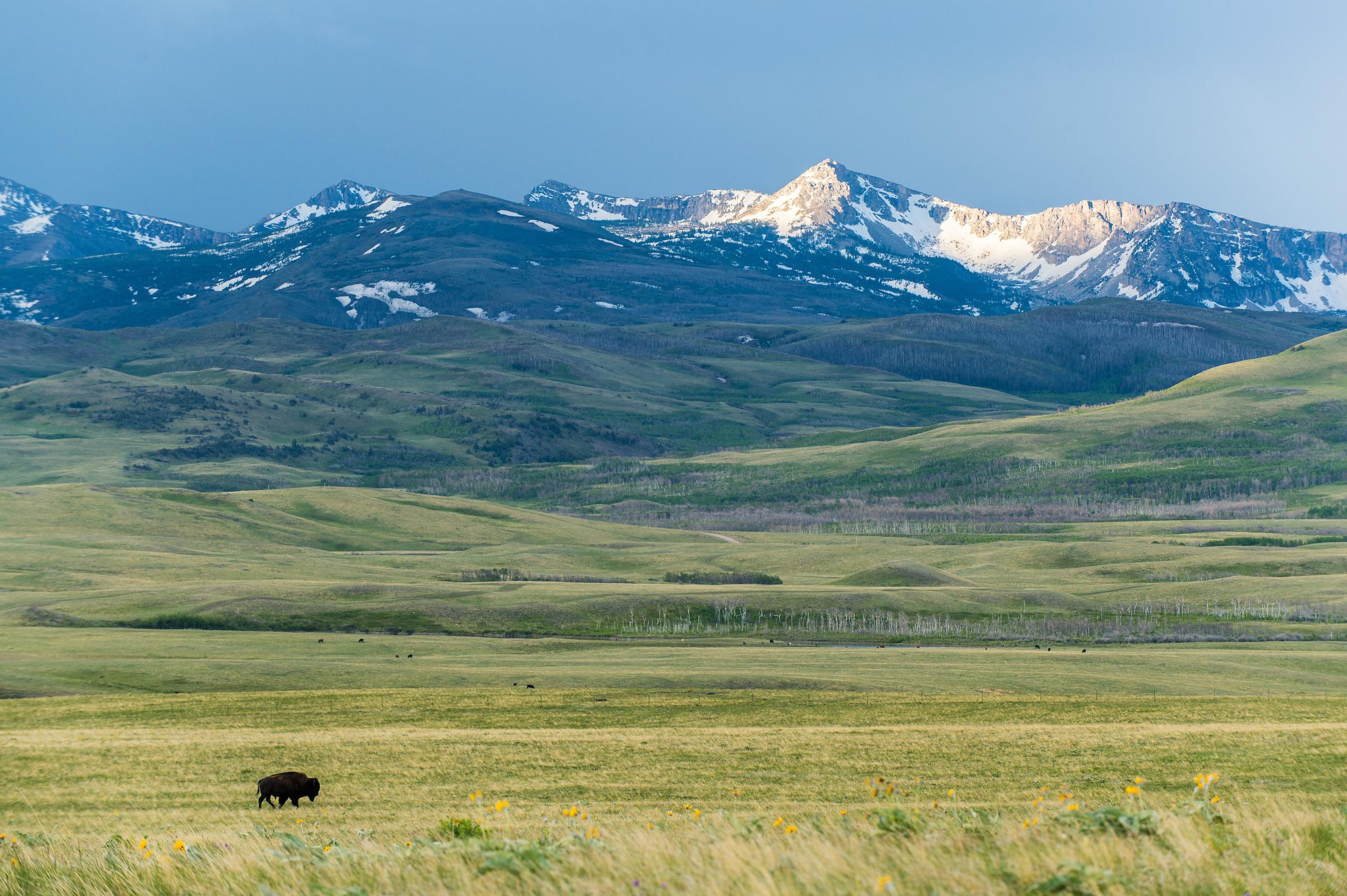 A lone bison wonders across the prairie on the Blackfeer Indian Reservation, Montana