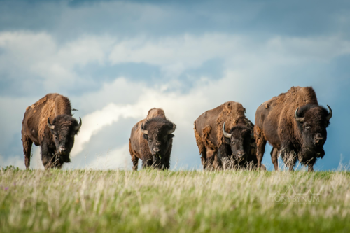 pictures of american bison