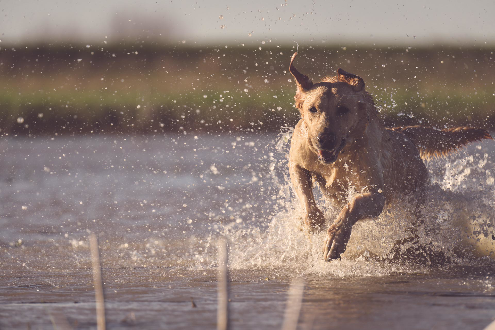 A yellow lab races through a marsh to retrieve a downed duck. © Tony Bynum