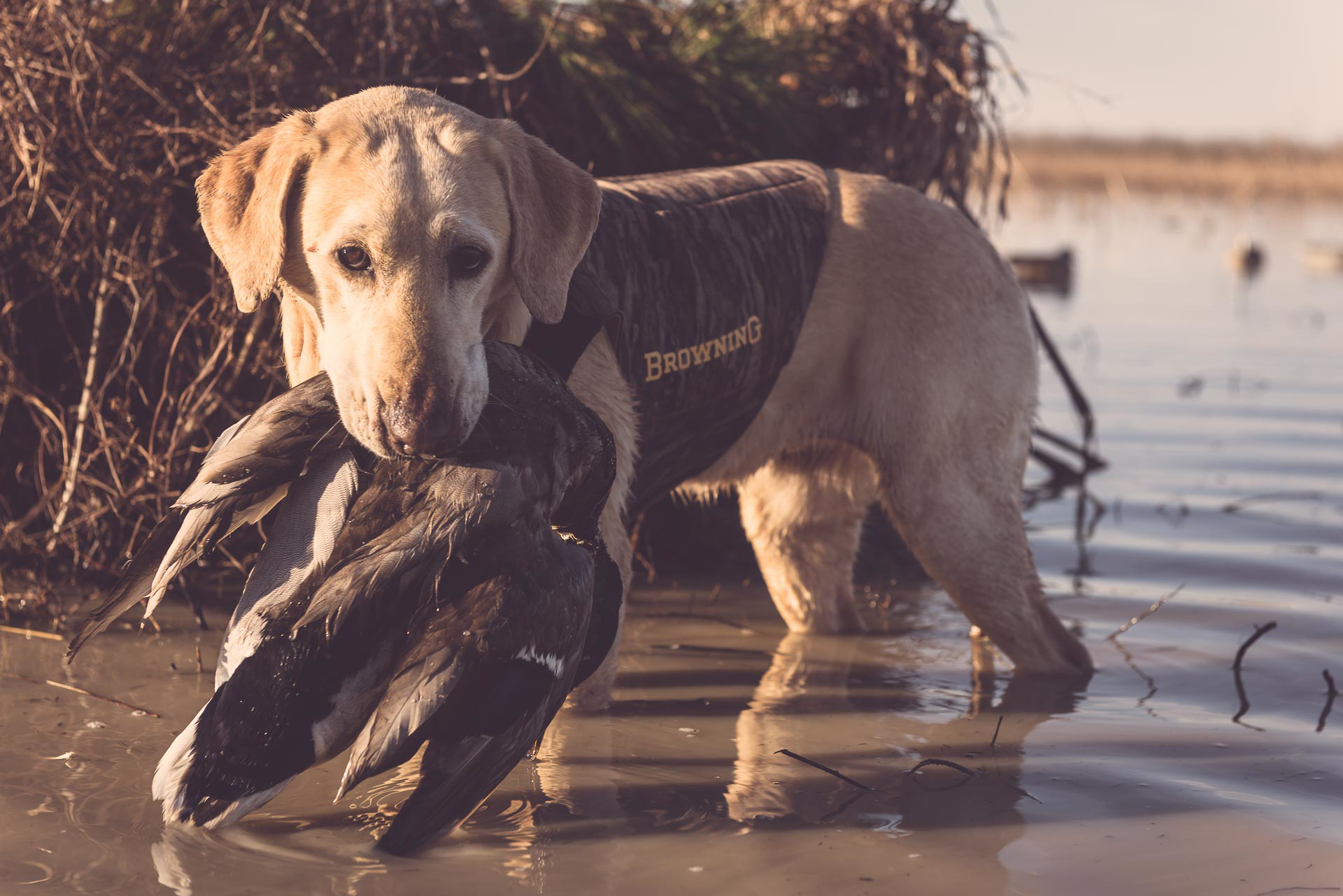 Yellow lab holding a duck in his mouth standing in marsh at Honey Brake. © Tony Bynum