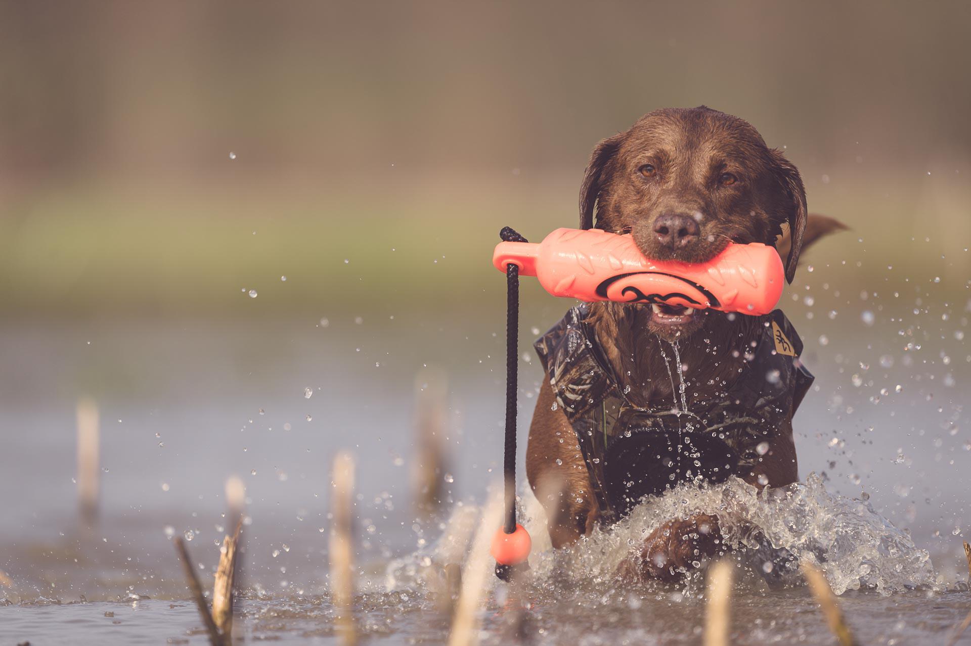 Chocolate lab retrieving a training bumper in water. © Tony Bynum
