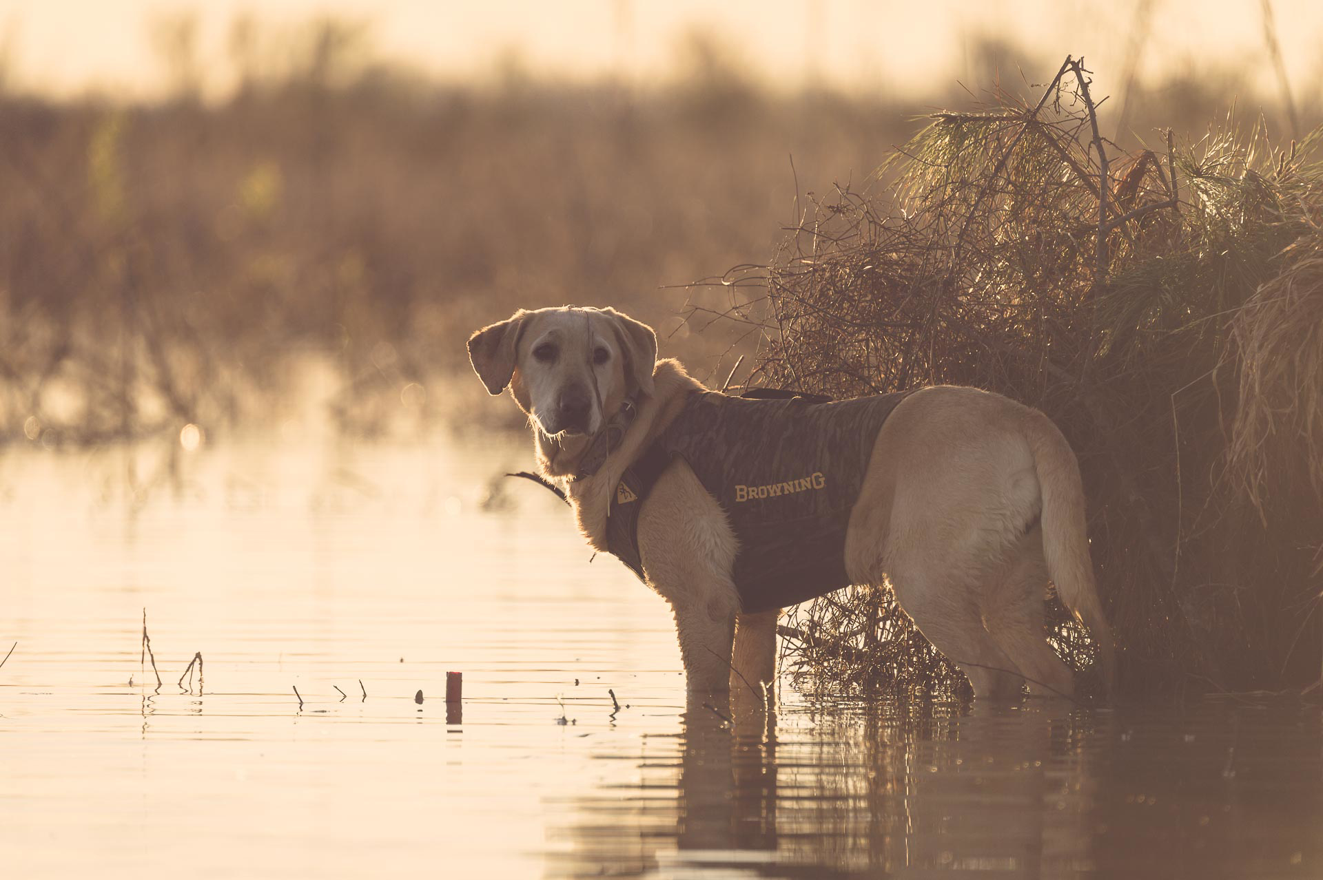Yellow lab standing in a marsh next to blind. © Tony Bynum
