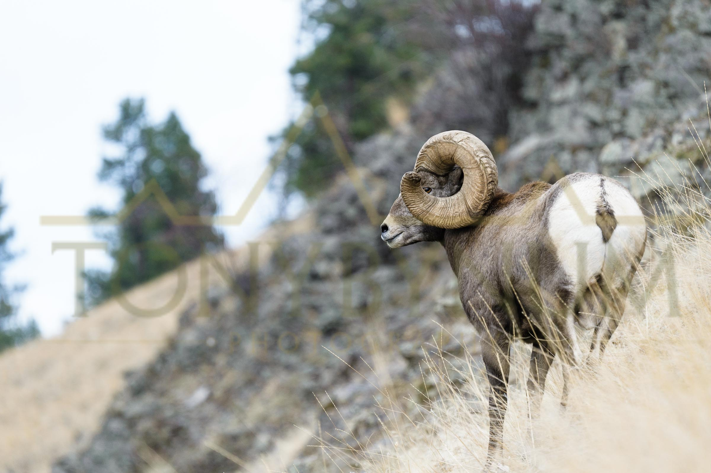 A photograph of the world record bighorn sheep from Wild Horse Island, Montana. ©tonybynum.com