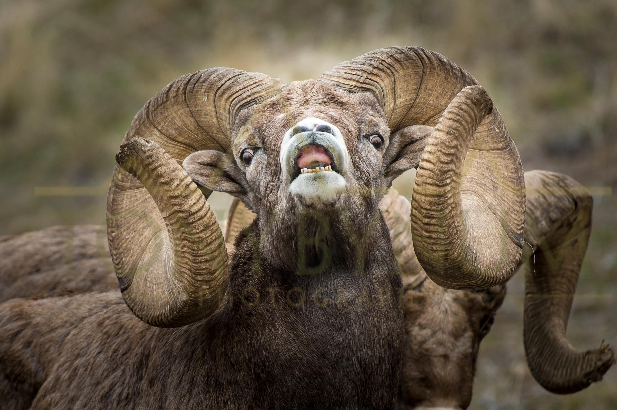 The world record bighorn ram lip curling during the rut. Wild Horse Island, Montana. ©tonybynum.com