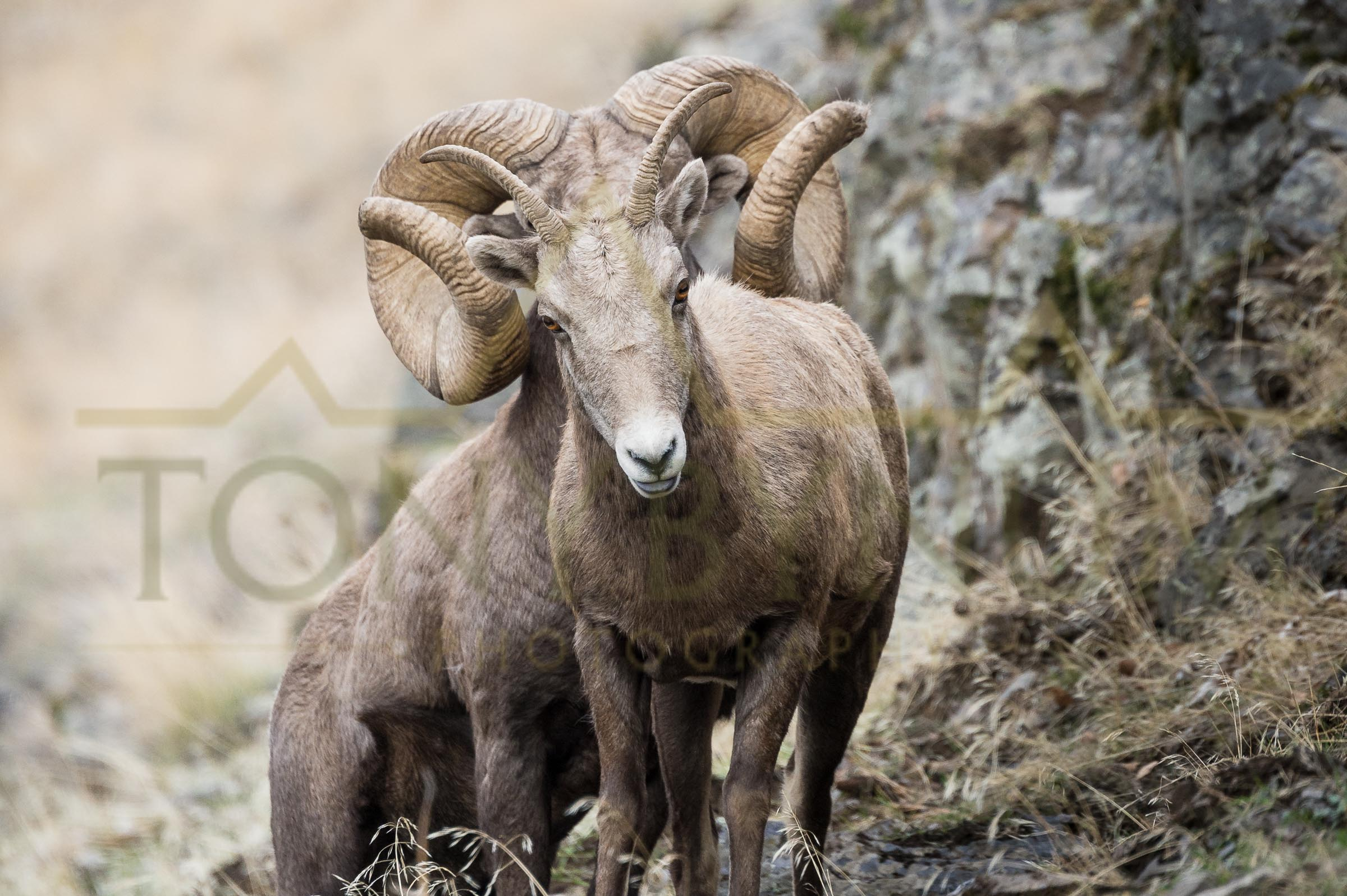 A striking image of the world record bighorn ram standing directly, and inline with a ewe. The ram later bred this ewe passing on his incredible genes. ©tonybynum.com