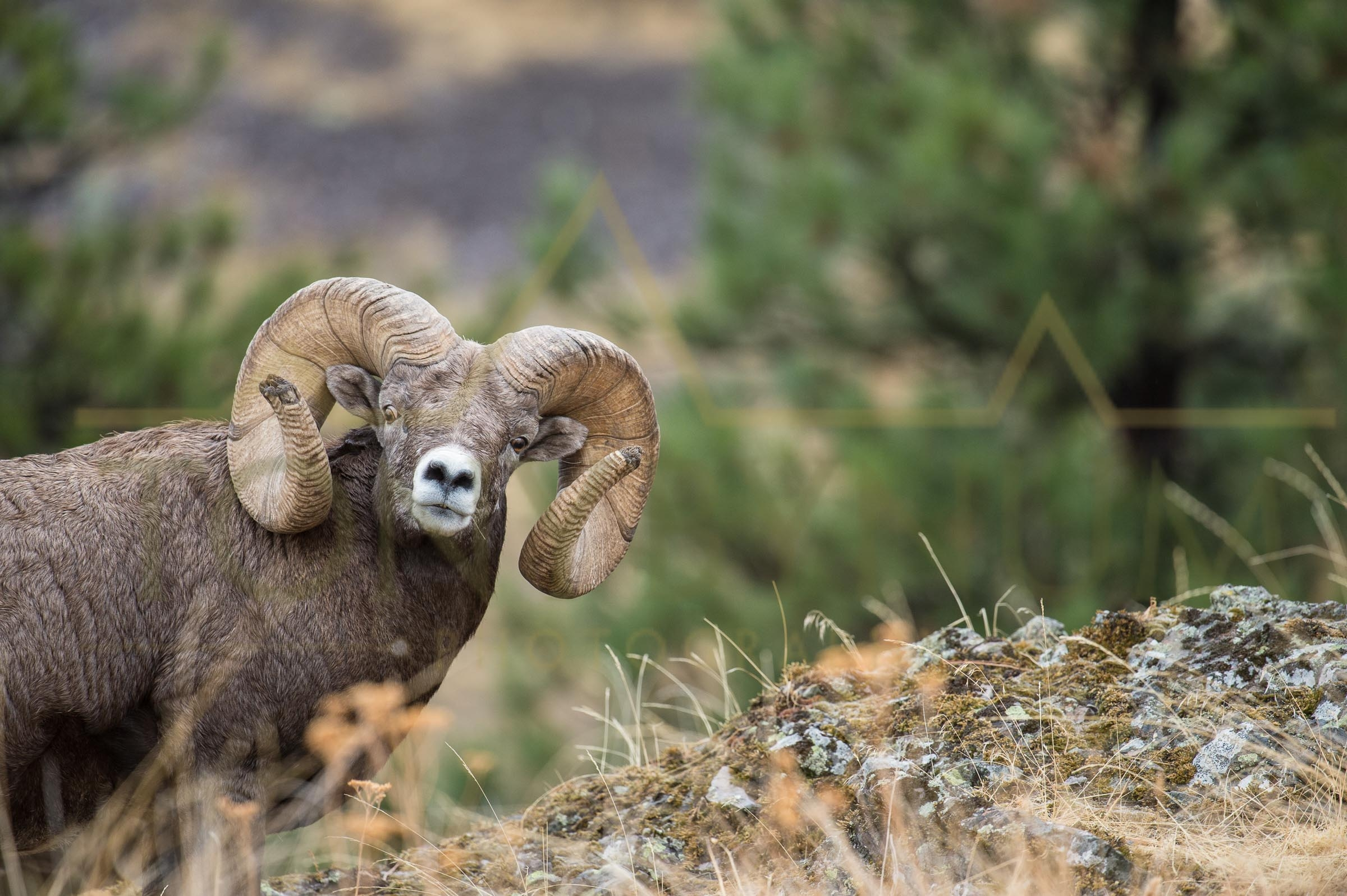 A photograph of the world record bighorn sheep. This photograph was taken back in 2014. ©tonybynum.com