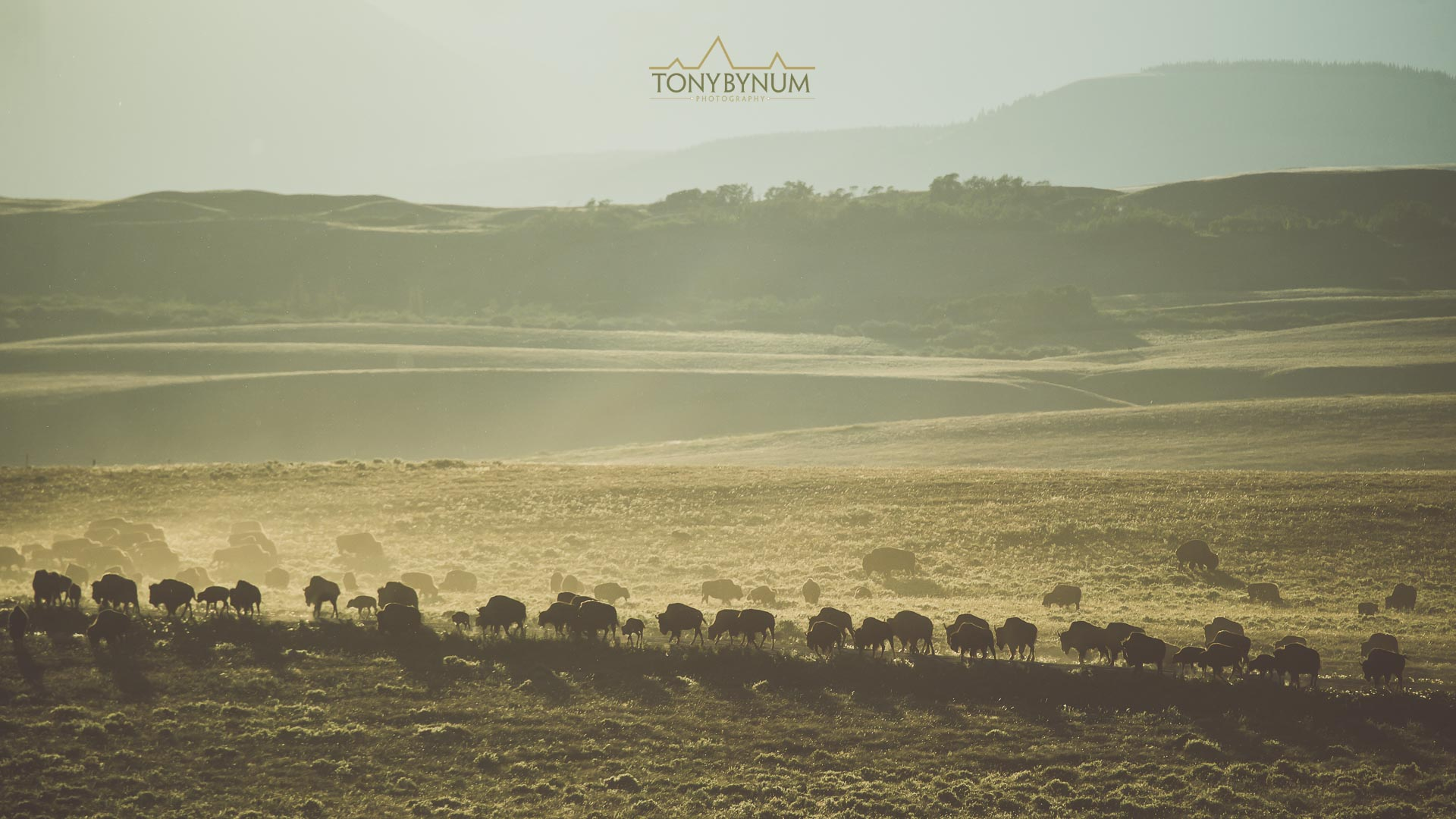 A small herd of american buffalo (bison) move across the landscape as if they are part of it. Blackfeet Reservation, Montana ©tonybynum.com