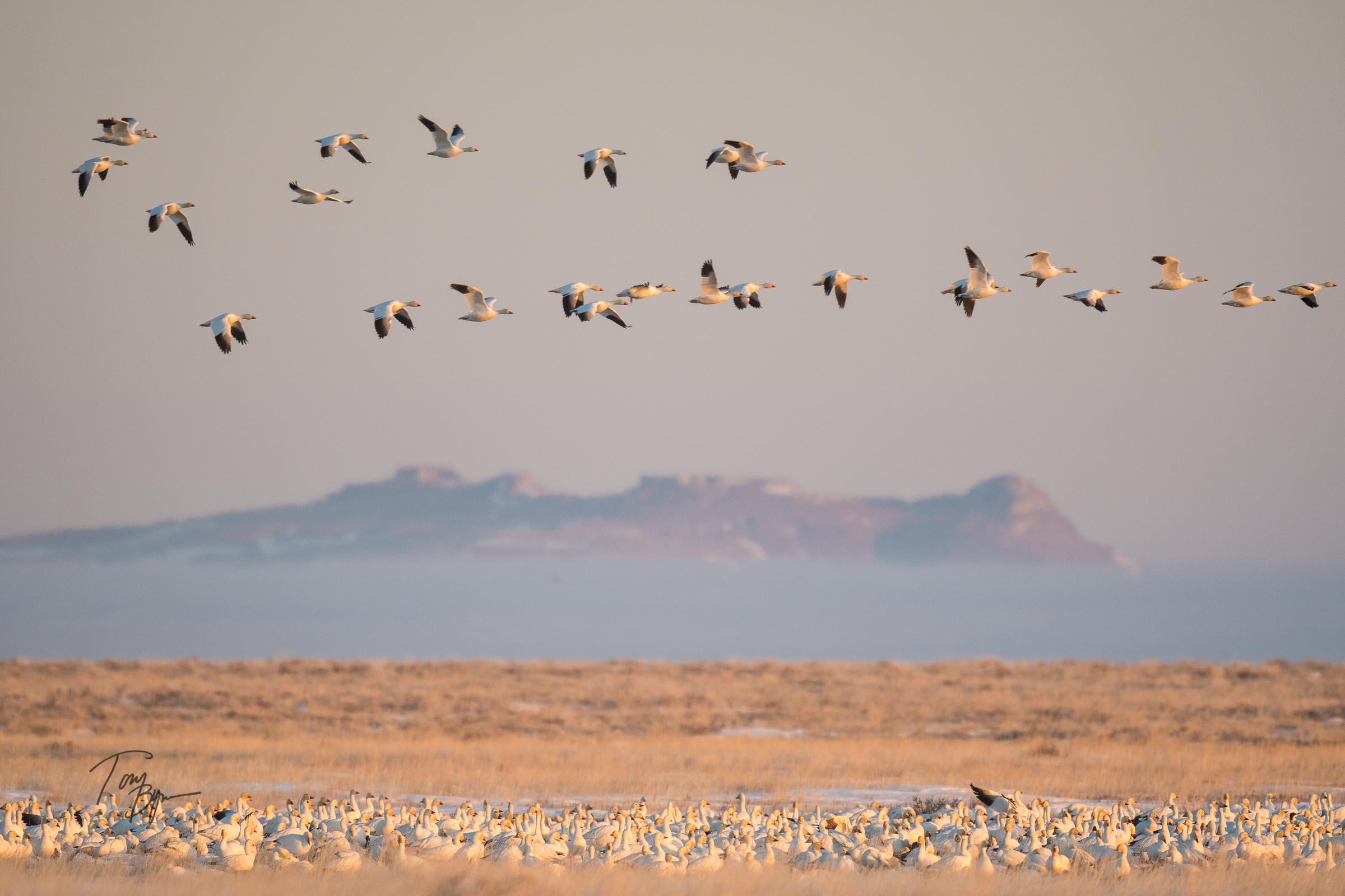 snow-geese-bynum-1096.JPG