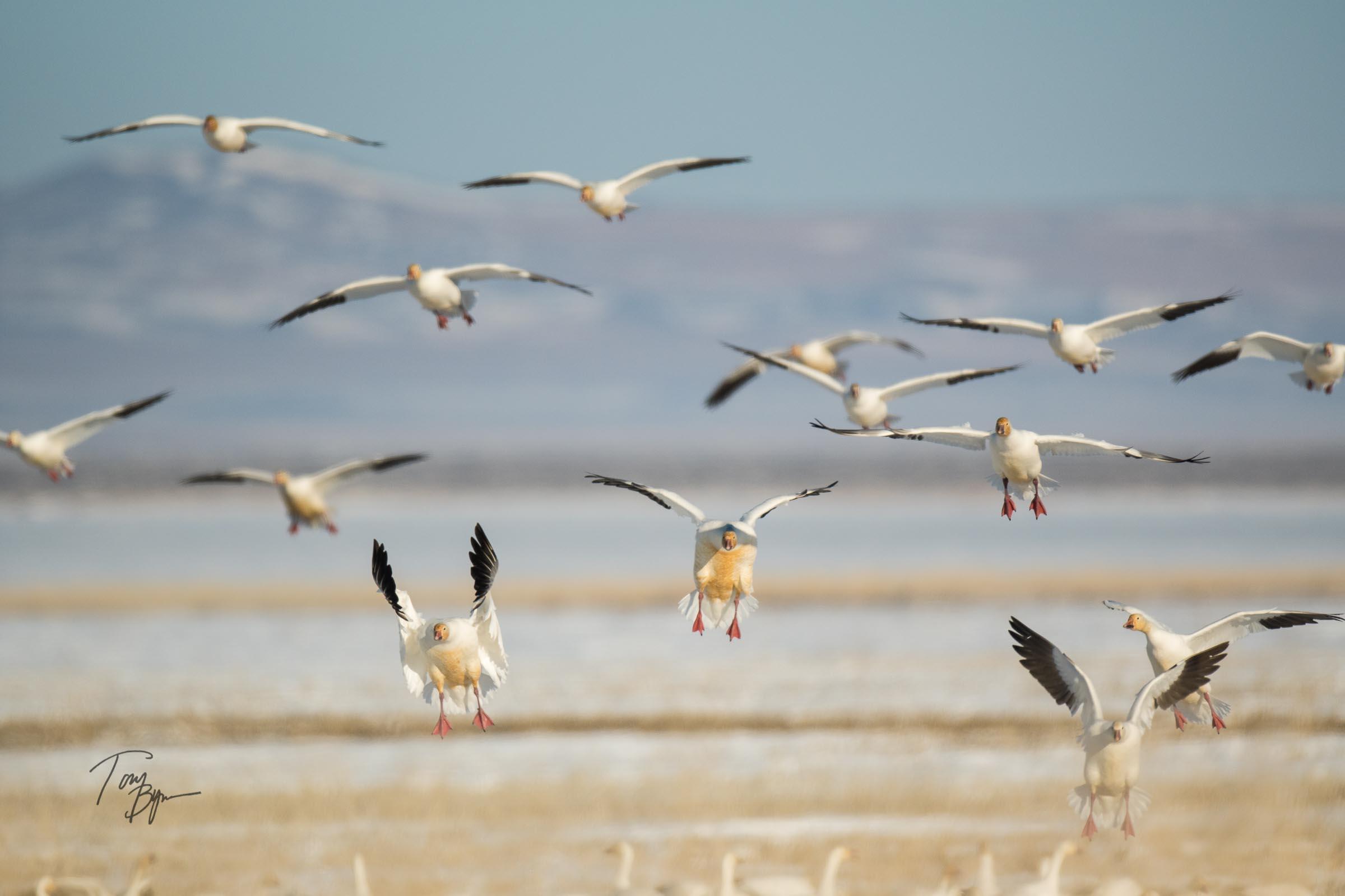 snow-geese-bynum-1674.JPG