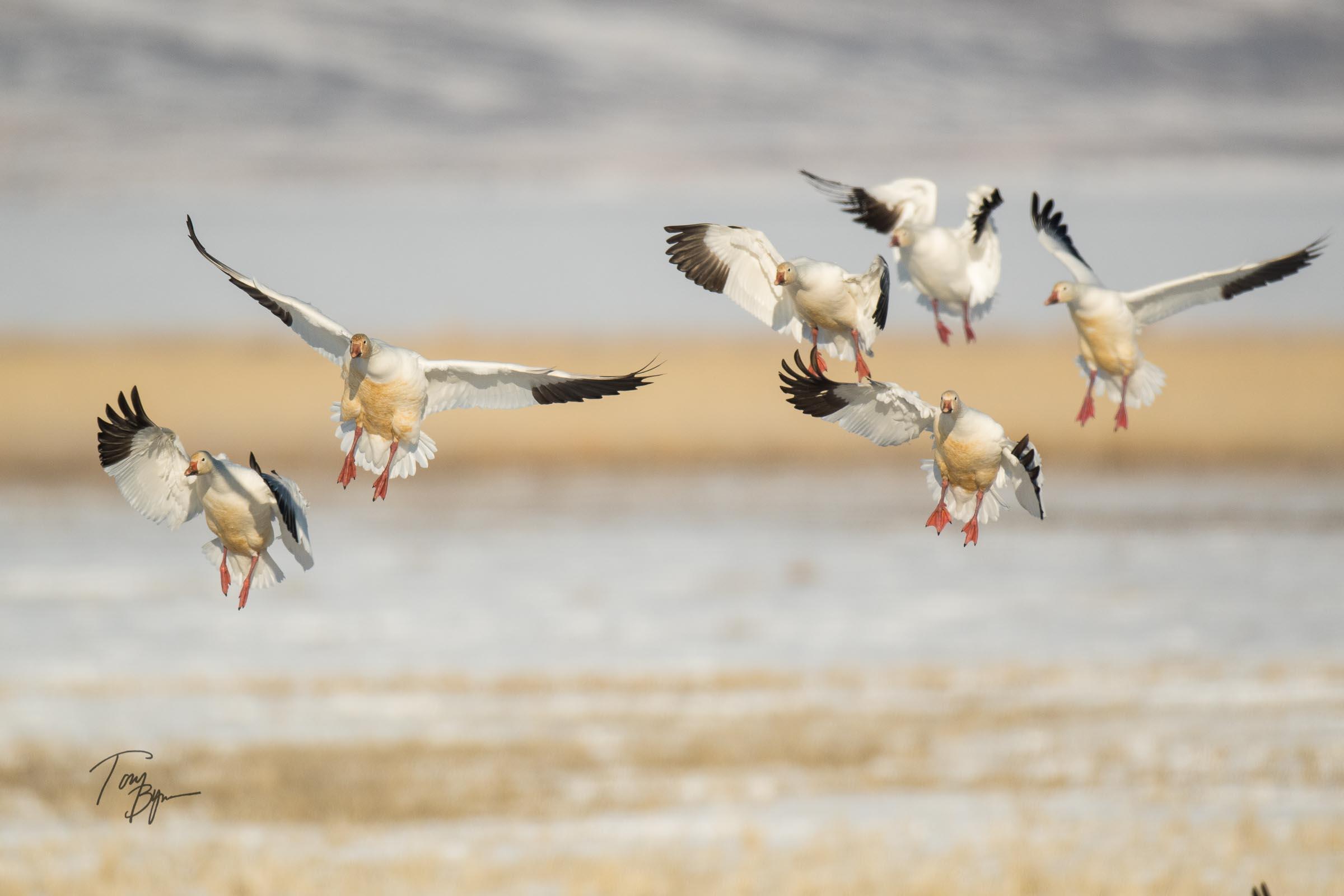 snow-geese-bynum-1785.JPG