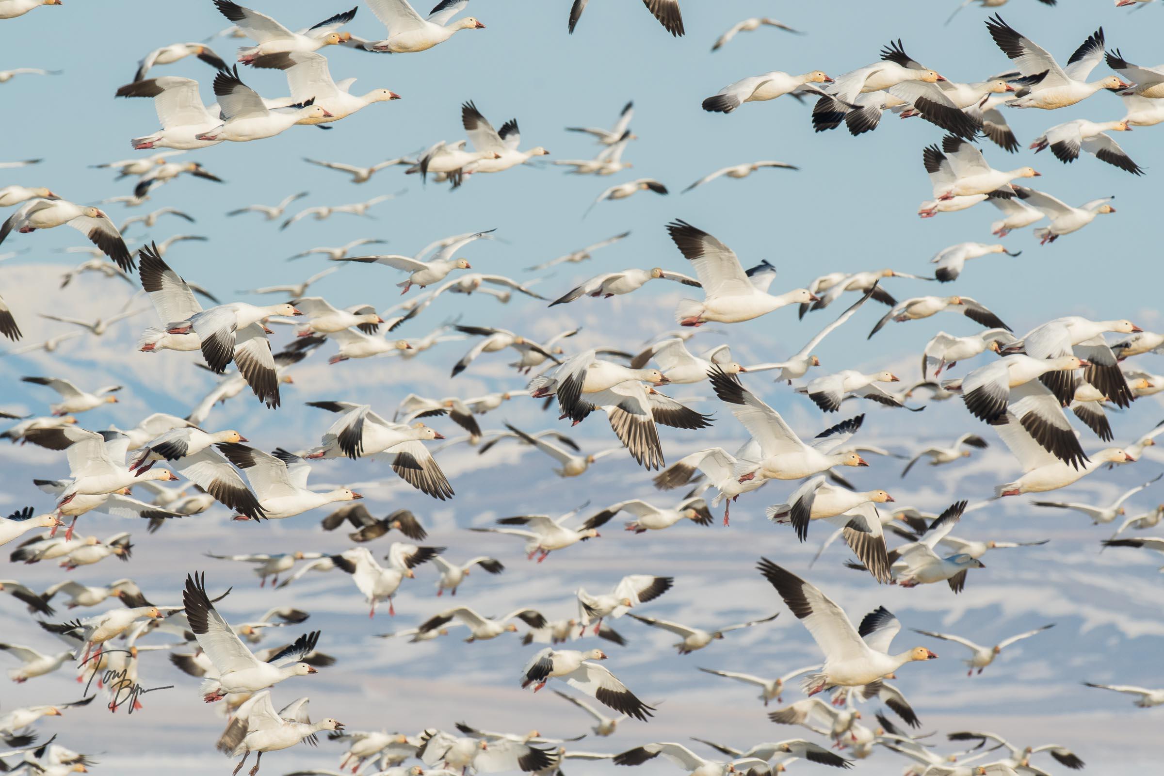 snow-geese-bynum-1978.JPG