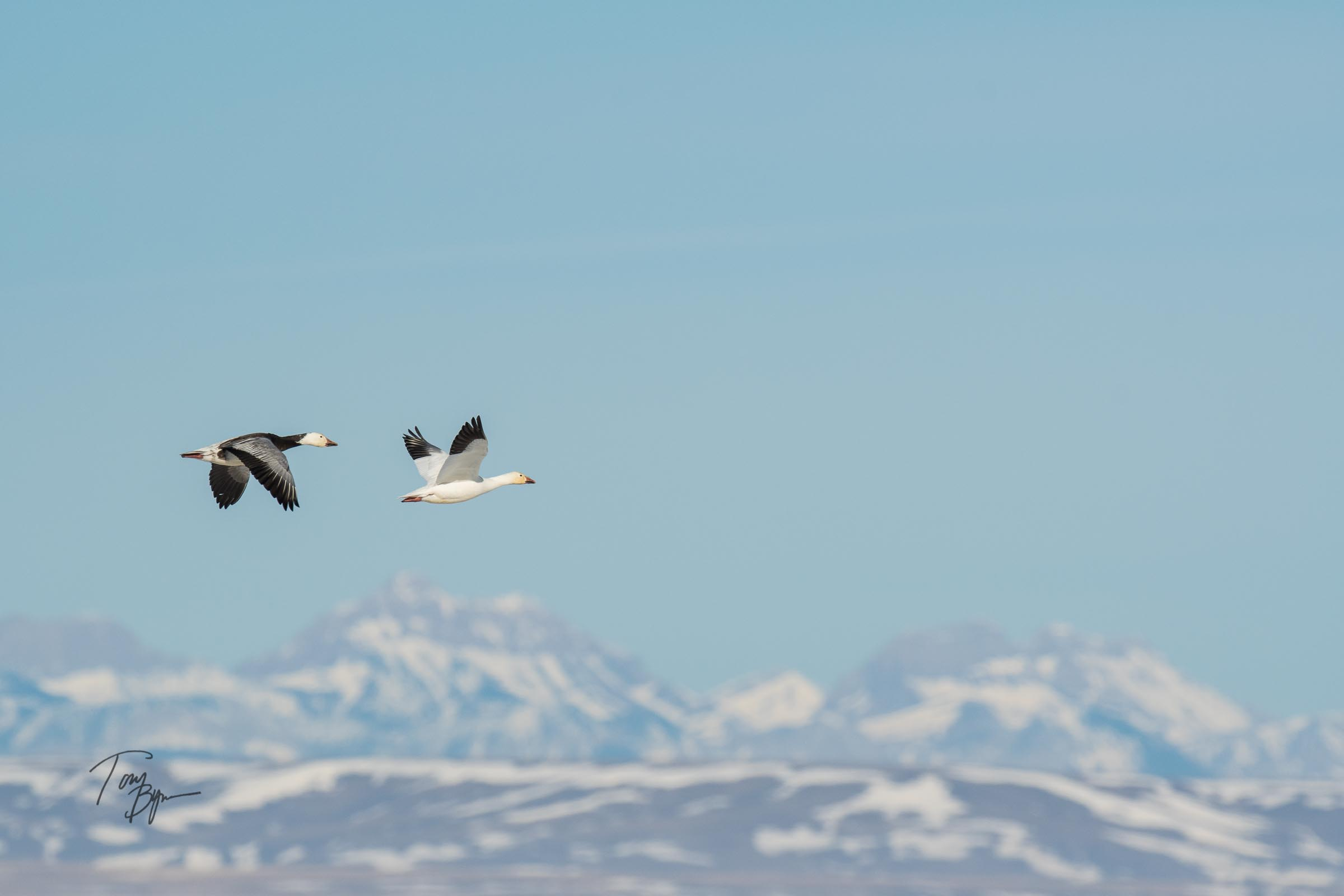 snow-geese-bynum-2249.JPG