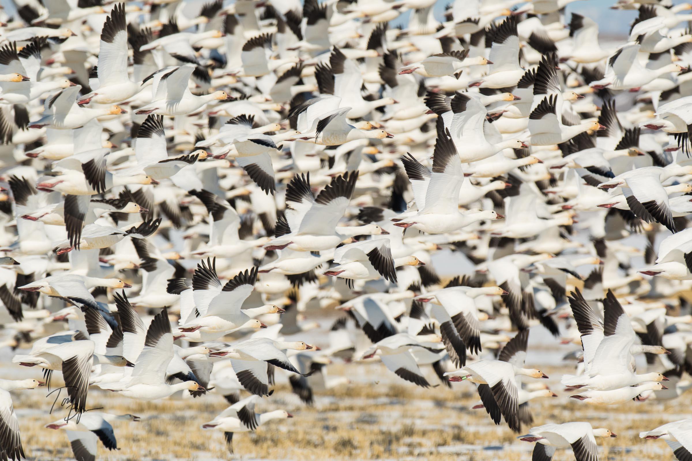 snow-geese-bynum-2464.JPG
