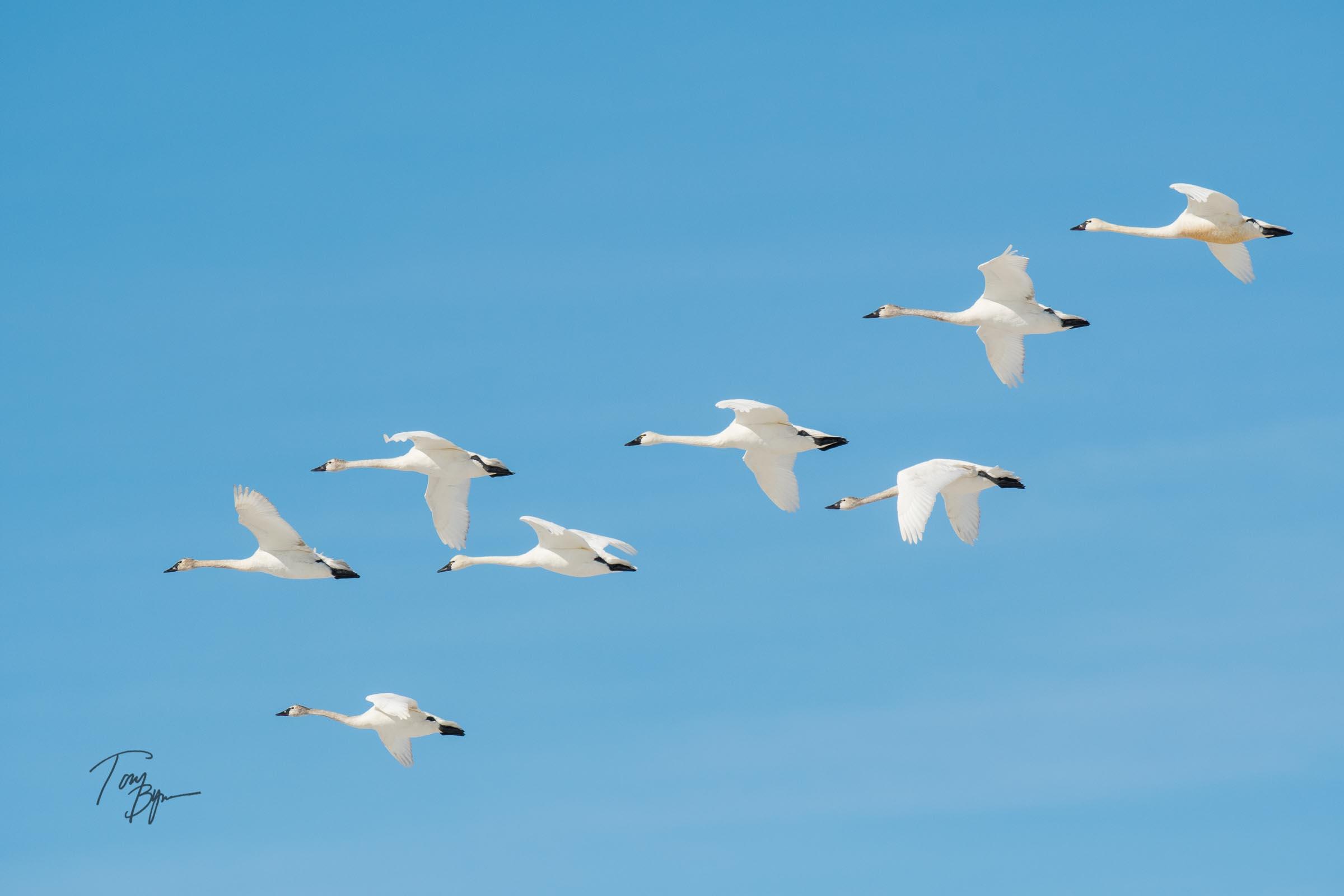 snow-geese-bynum-3808.JPG