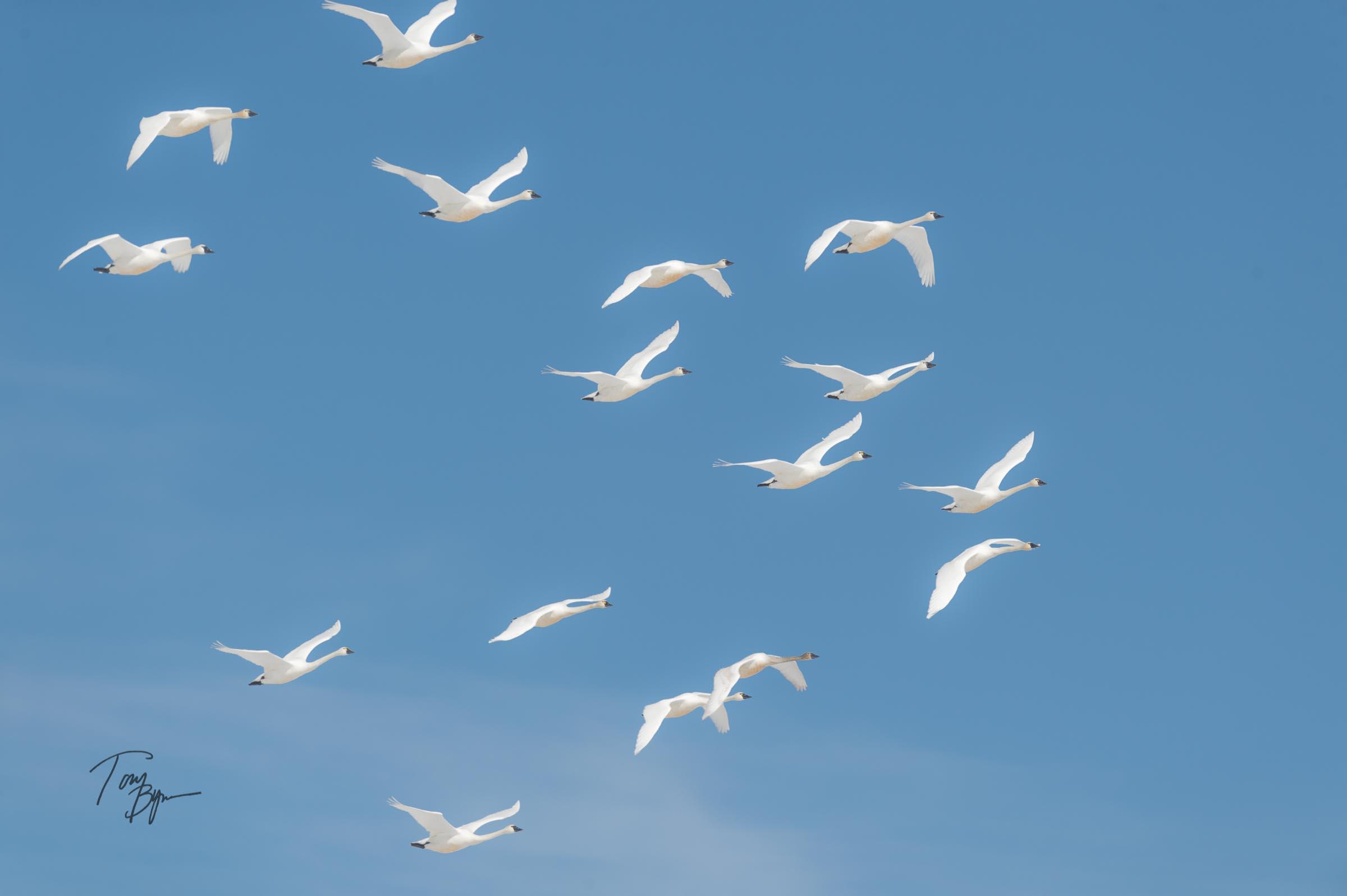snow-geese-bynum-5189.JPG