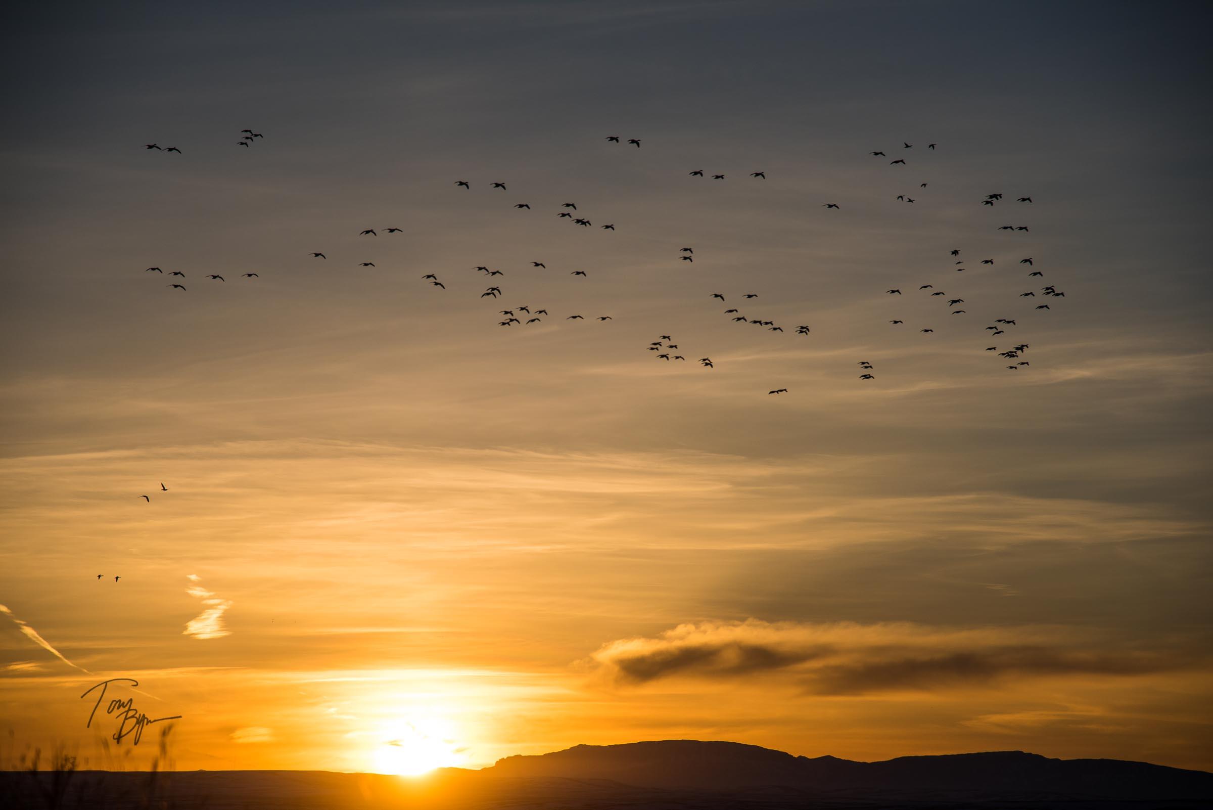 snow-geese-bynum-8400.JPG