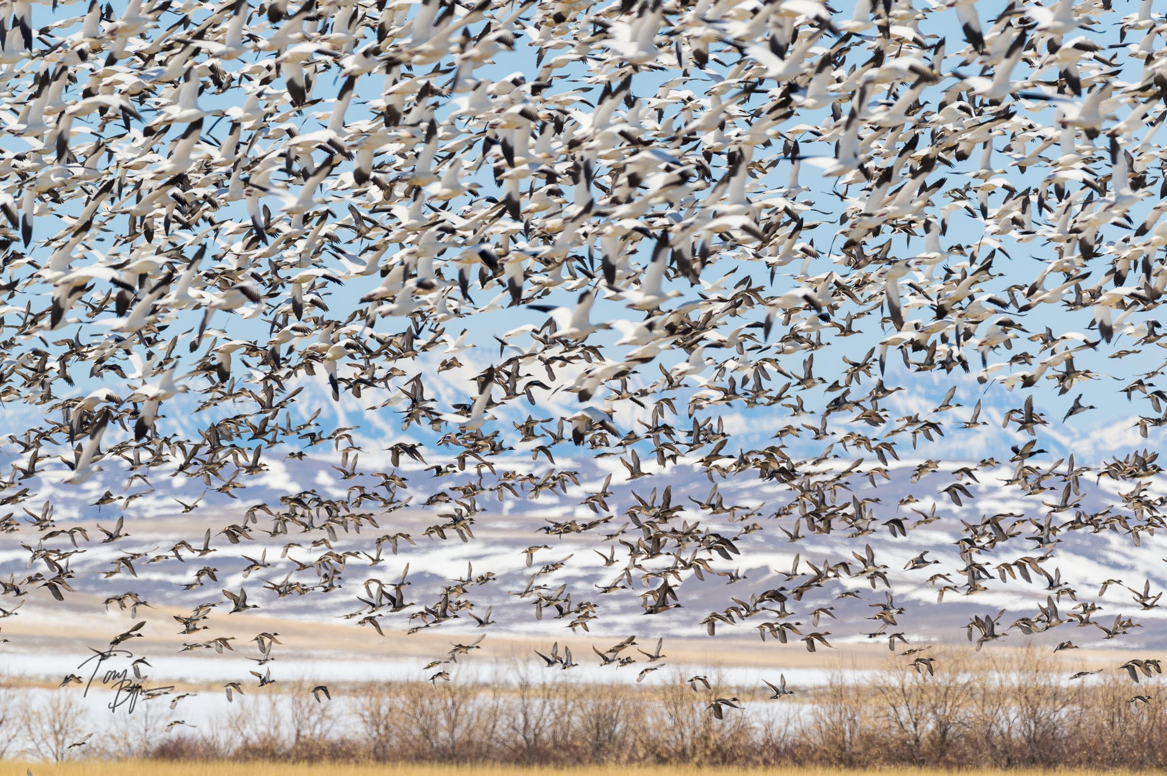 snow-geese-bynum-5505.JPG