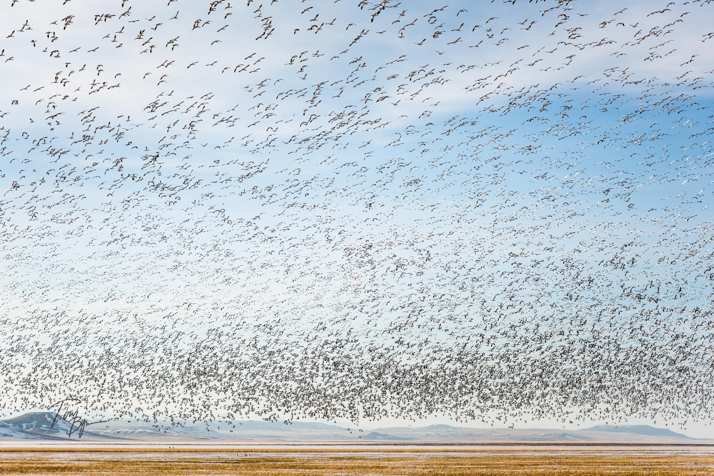 snow-geese-bynum-8760.JPG