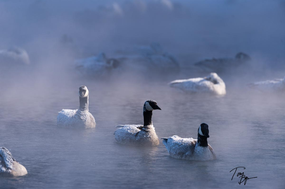 Canada Geese with thick ice caked on their backs from the extreme cold. Photographed at minus 40 degrees f. © Tony Bynum