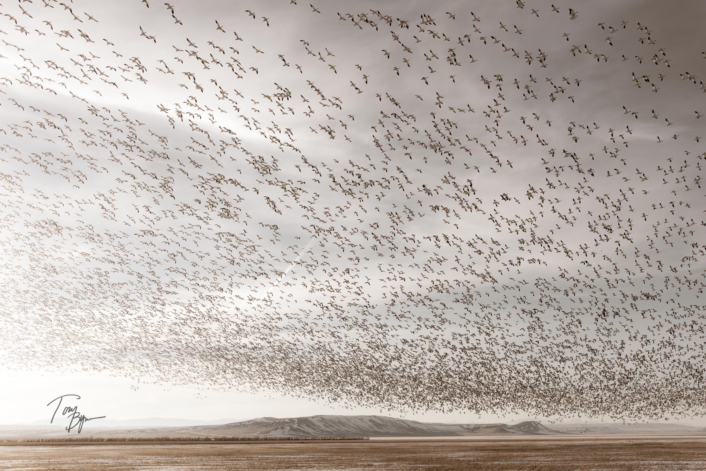Thousands of snow geese lift off and leave the area. © Tony Bynum