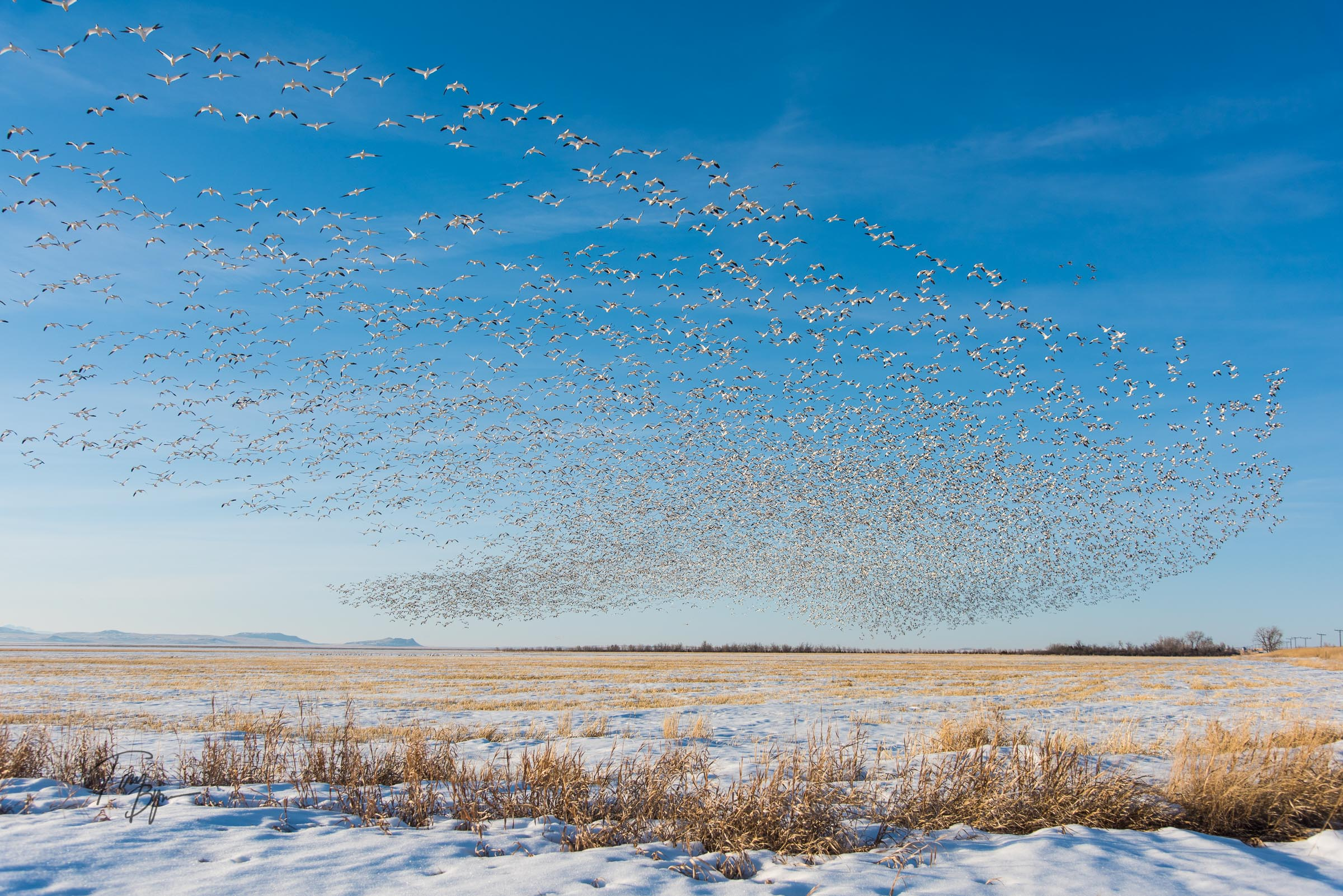 A cloud of mostly snow geese, with a few ducks mixed. © Tony Bynum