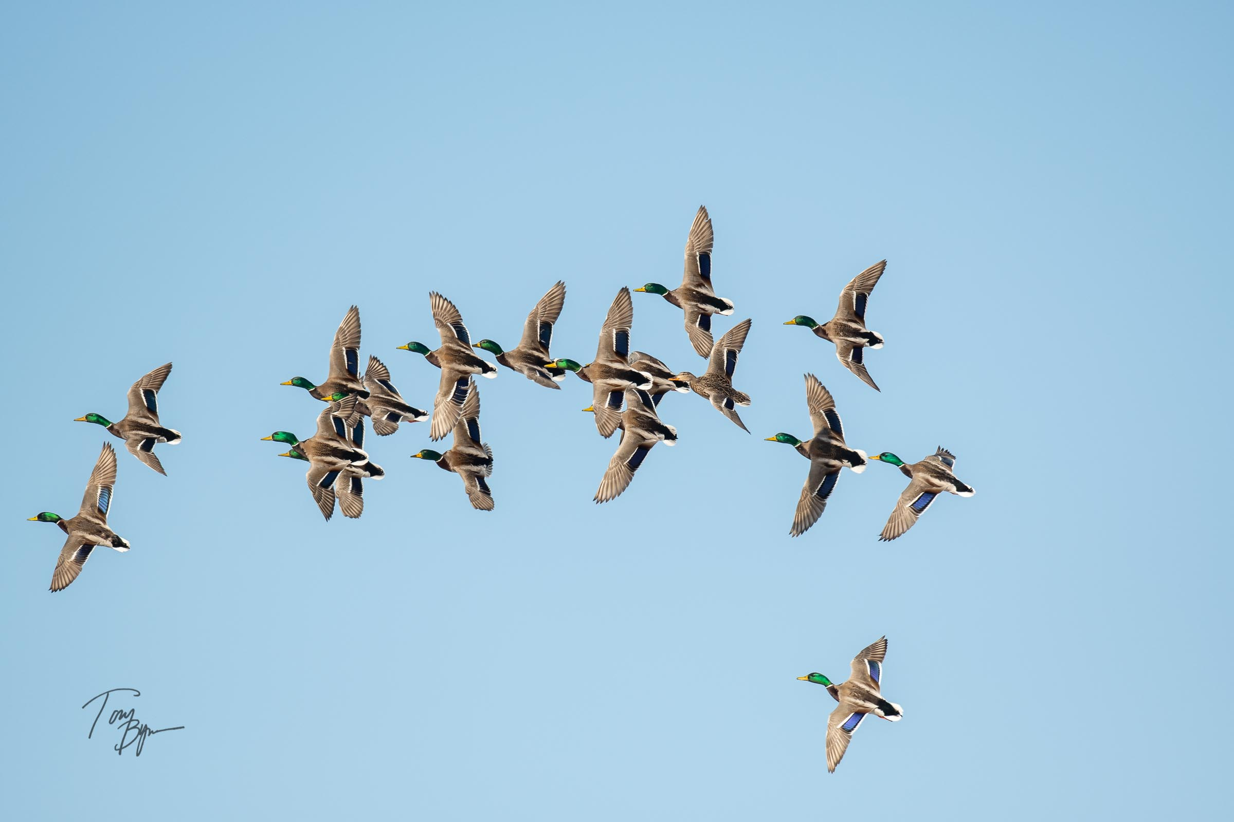 A group of drake Mallards, with on hen turns in the cloudless sky. © Tony Bynum