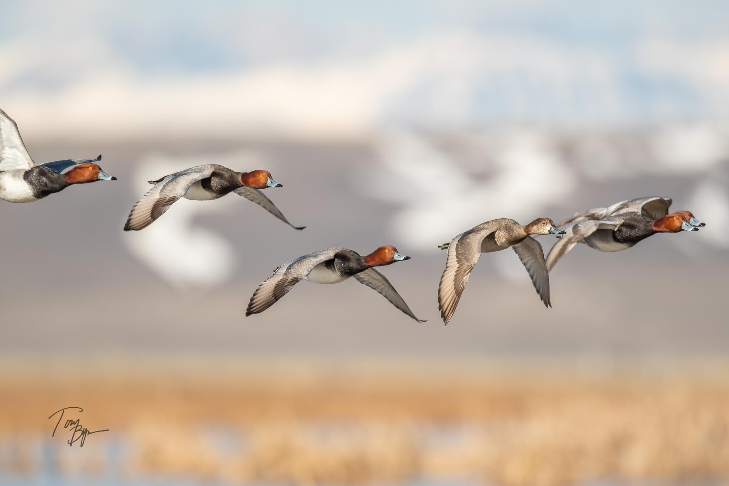 A group of Red-headed ducks with their classic red head and blue bill (breeding season) chasing a hen. © Tony Bynum
