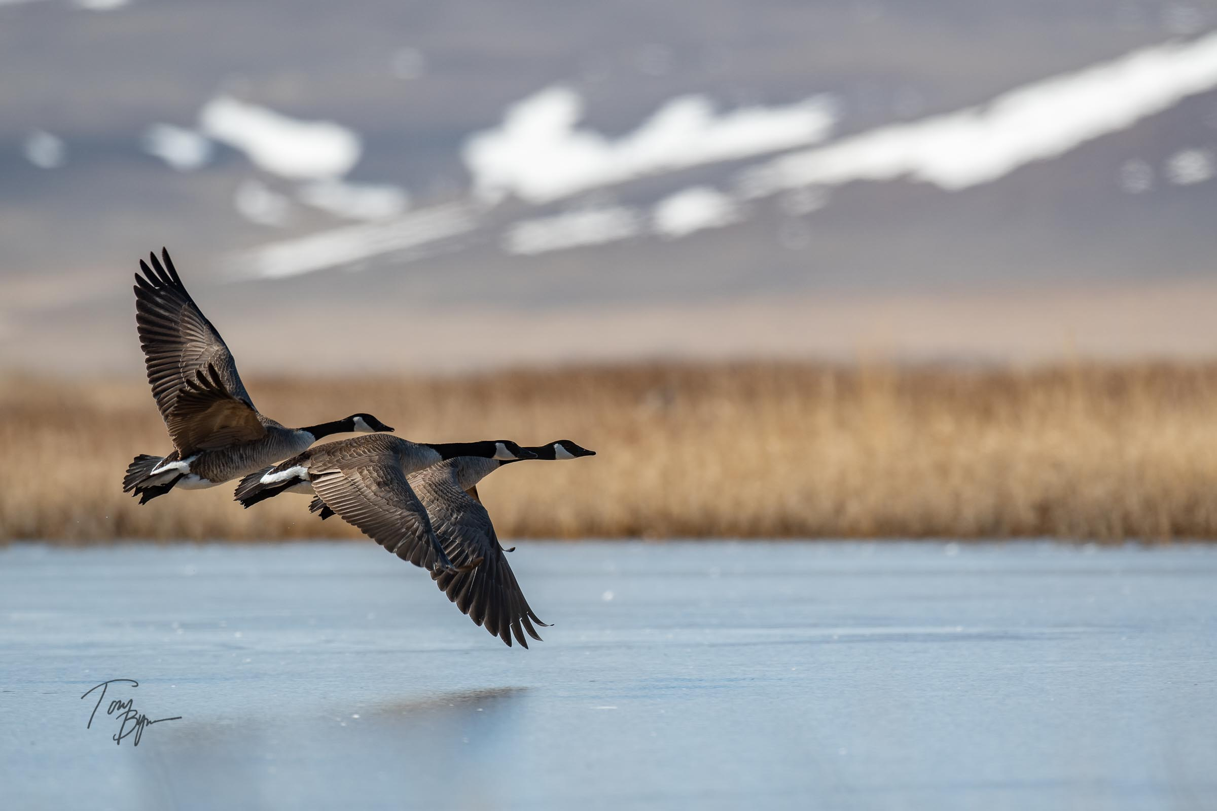Three canada geese taking flight over a frozen pond along the Rocky Mountain Front, Montana. © Tony Bynum