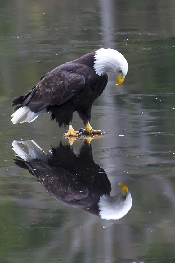 BaldEagleReflection.jpg