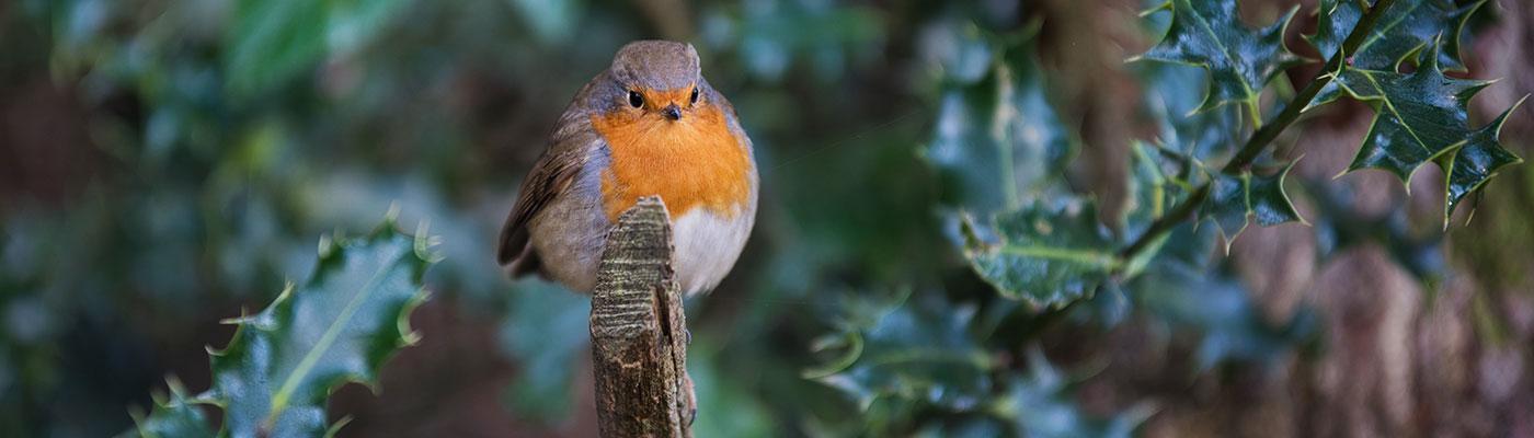 winter-robin.jpg
