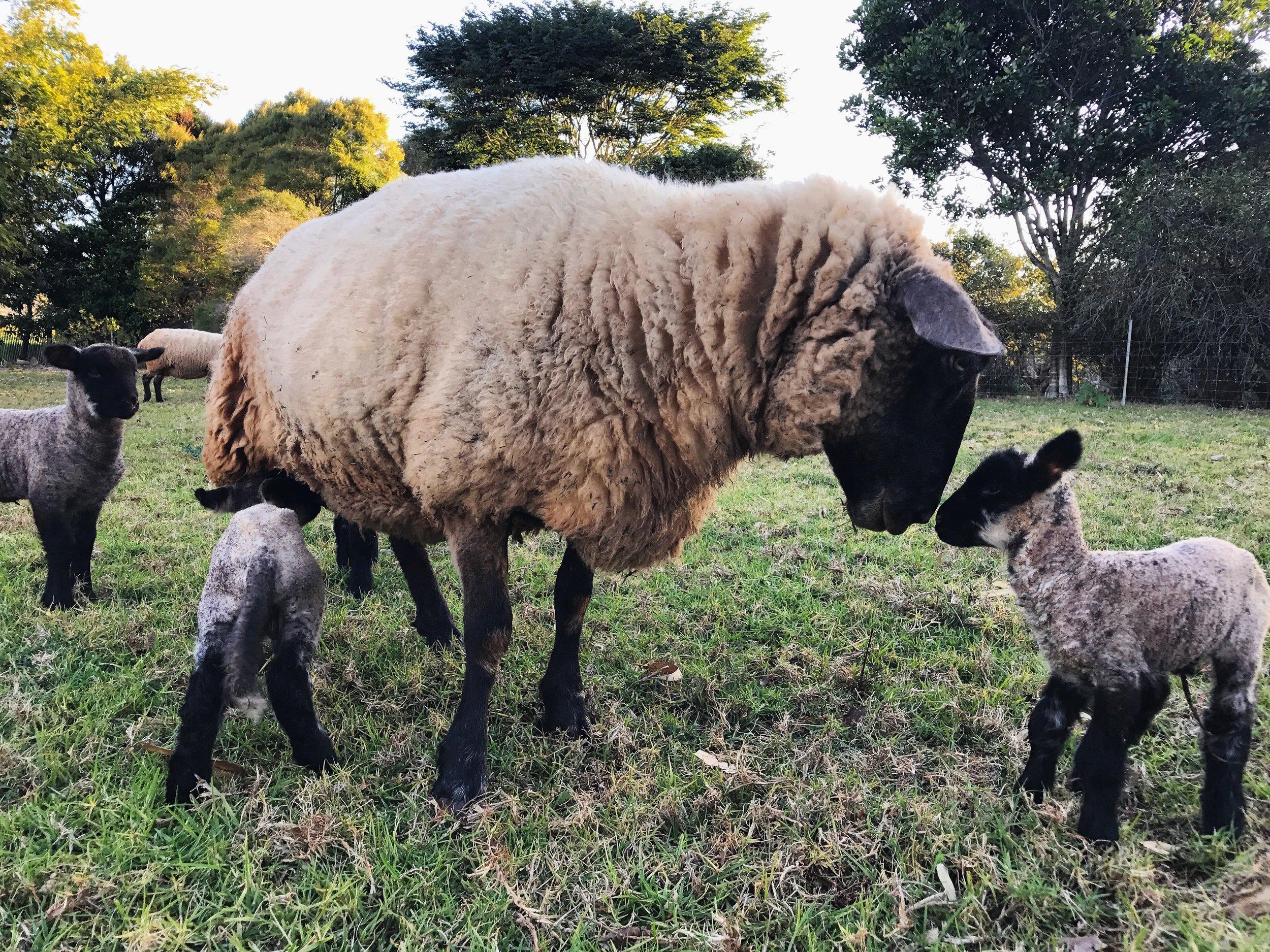 lambs 130817.JPG