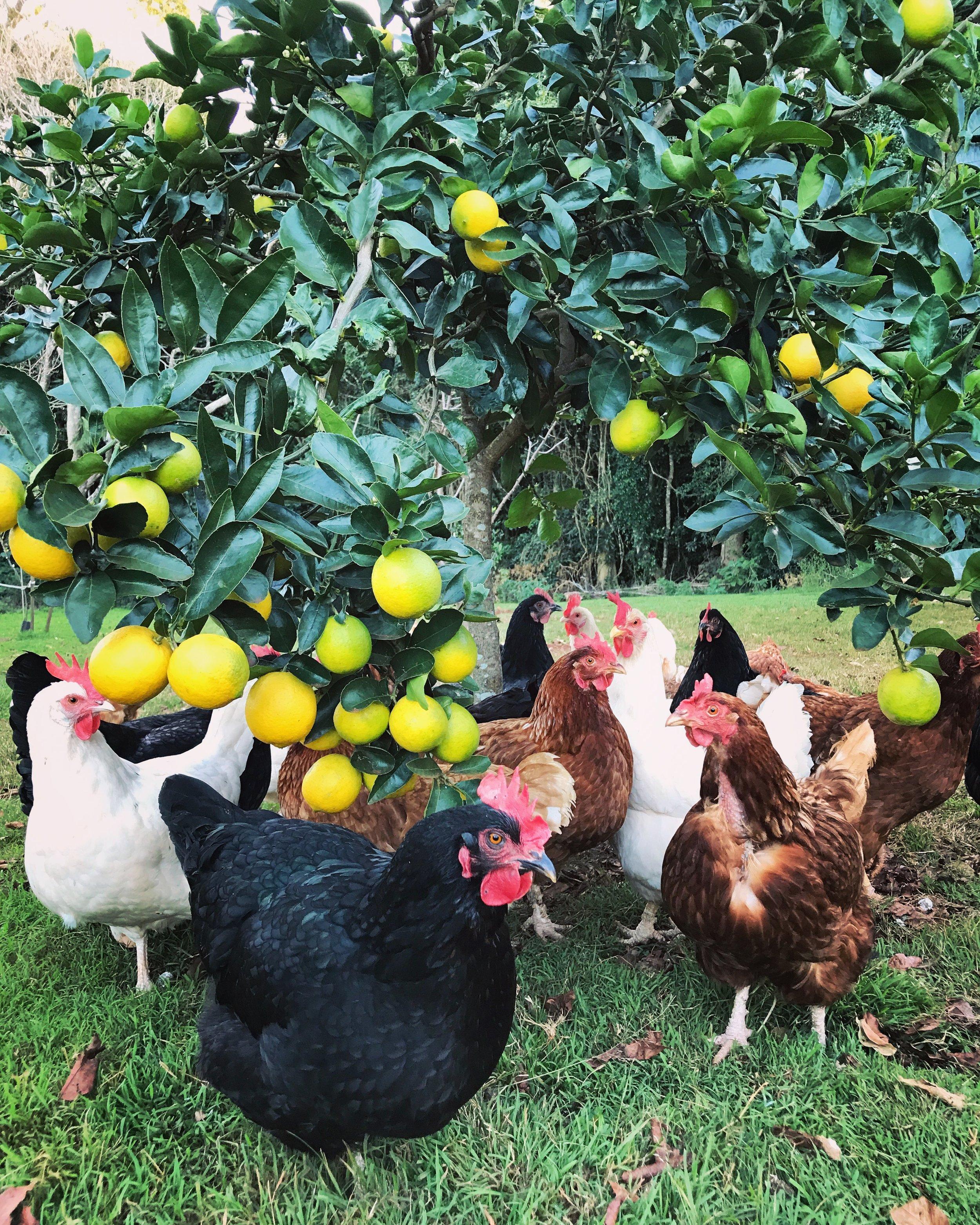 lemon chickens.JPG