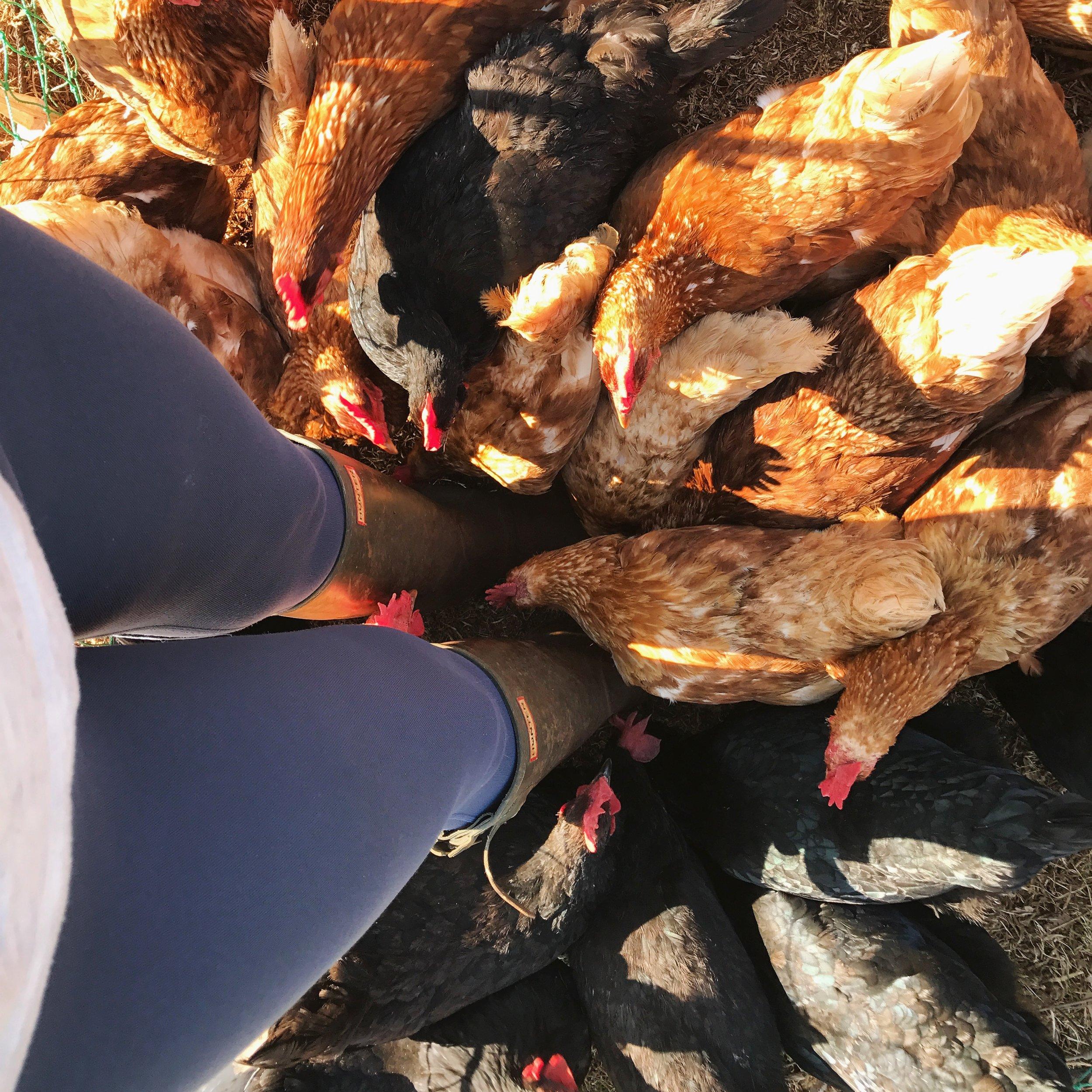 hello chickens.JPG