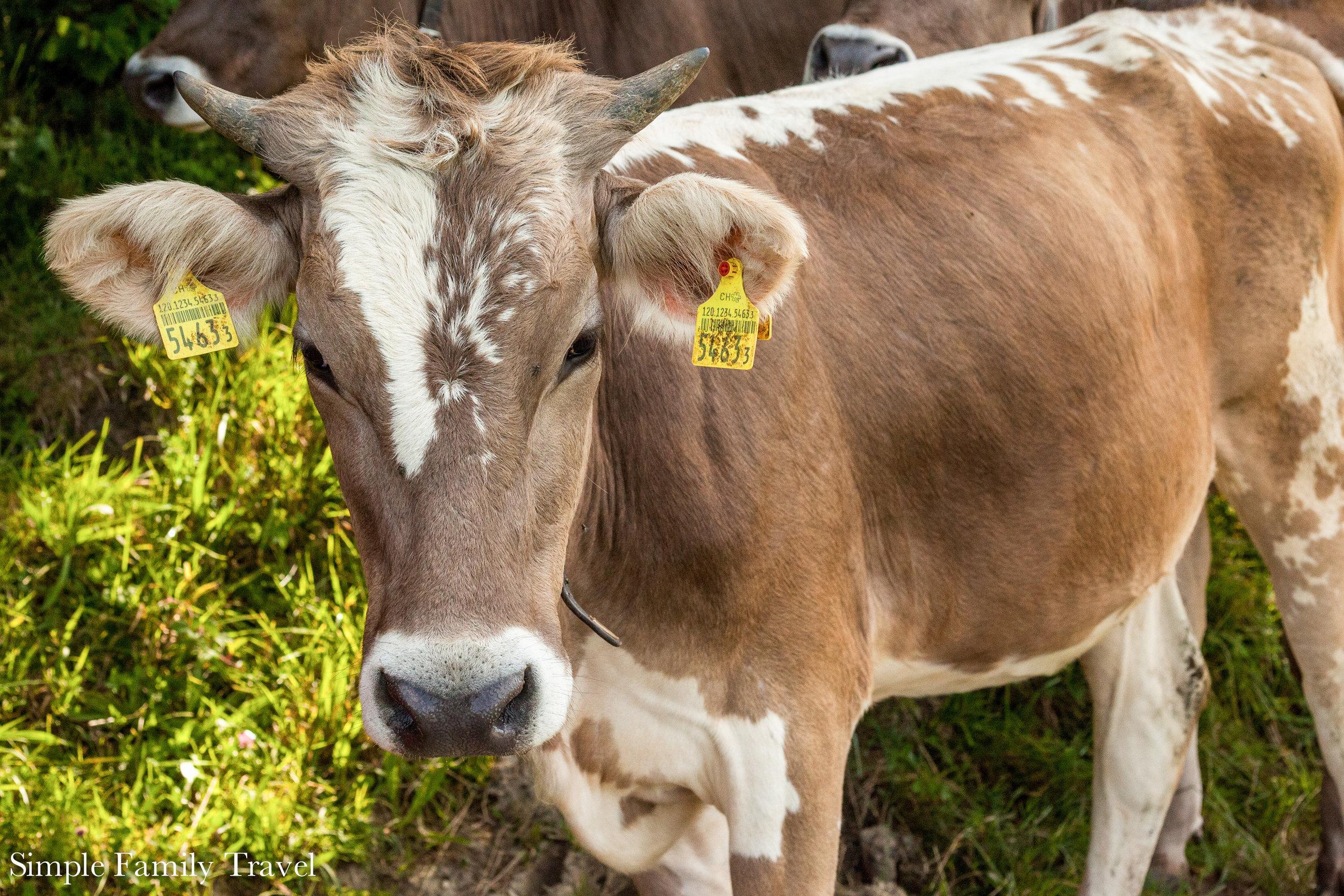 A swiss cow we encountered along a hike.