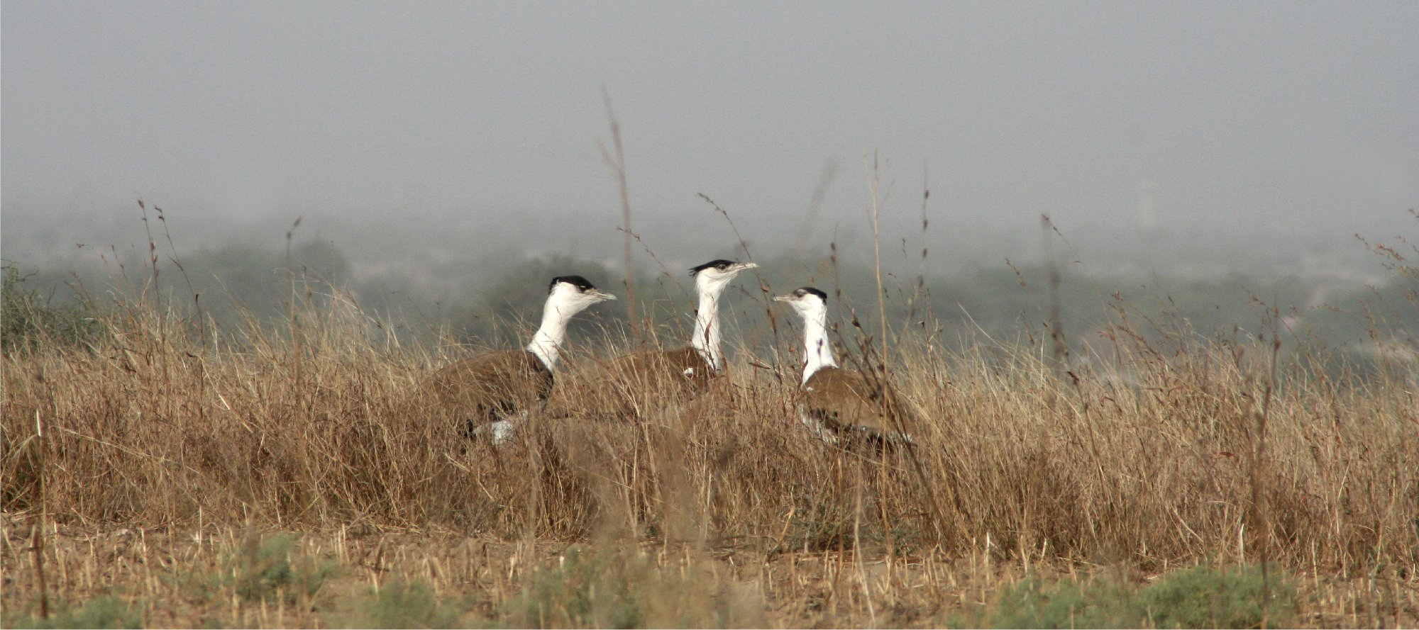 The endangered Great Indian Bustard. Photo credit: Jugal Tiwari