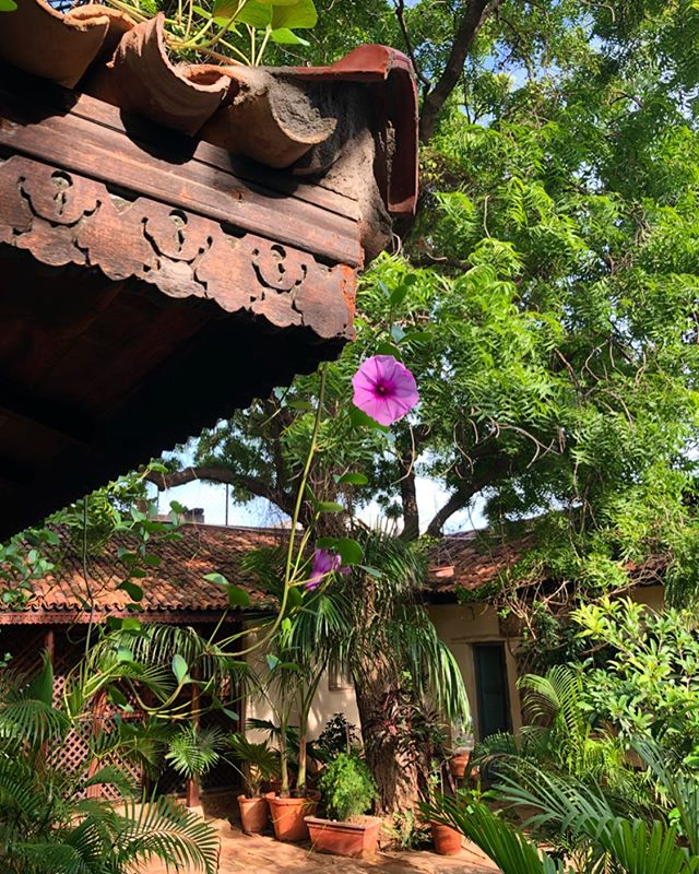 It bloomed for one day only 🌸 . #courtyardgarden #courtyardhomesofindia #heritagehomesofindia #heritagehomestay