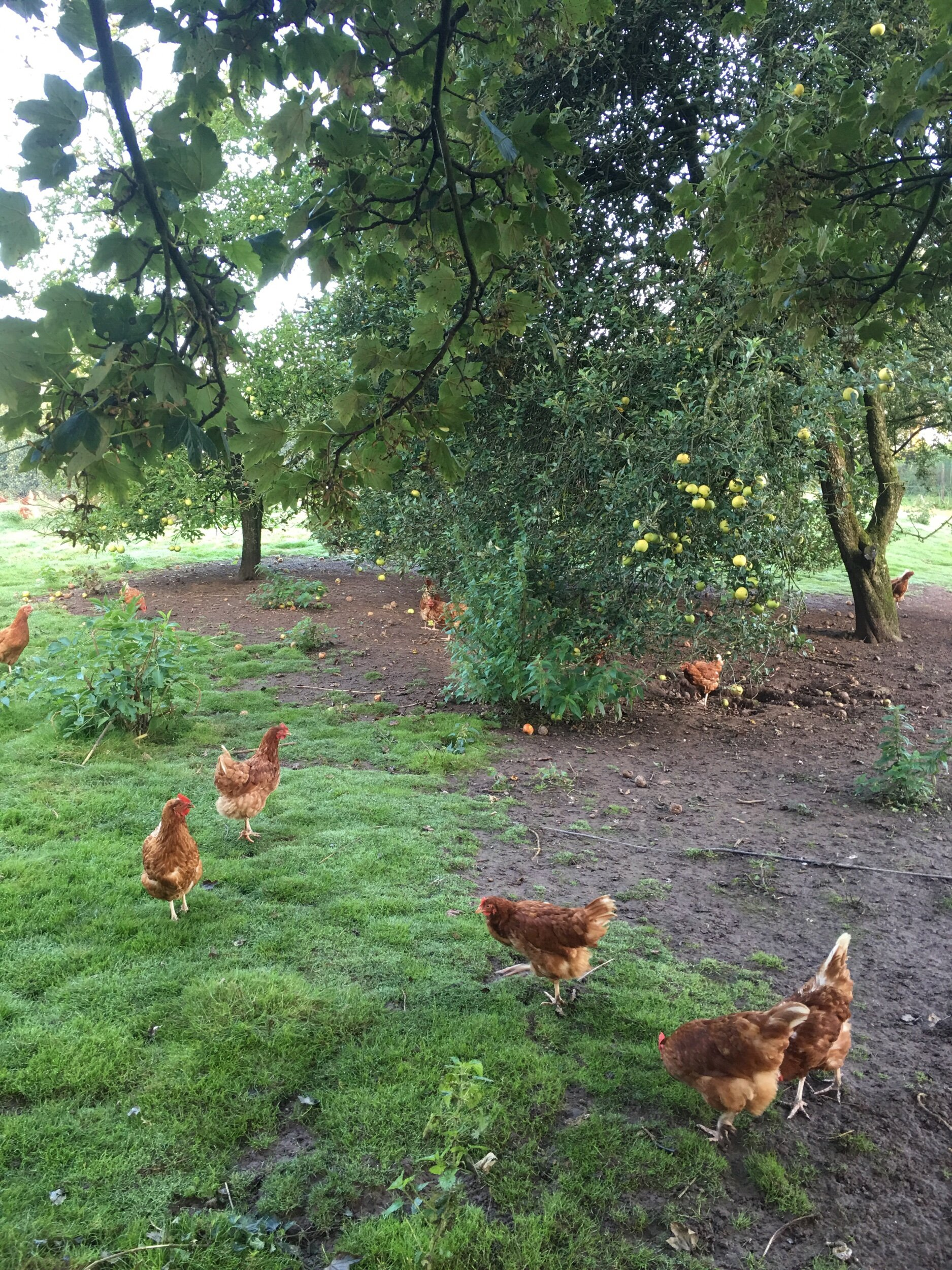 Our free range hens in the orchard eating fallen apples, pears and damsons. All their eggs are sold daily in the shop together with the fruit harvested from the trees. None of the fruit has been sprayed with insecticides, hence there maybe slight blemishes, but the price is up to half the price of the major six supermarkets.