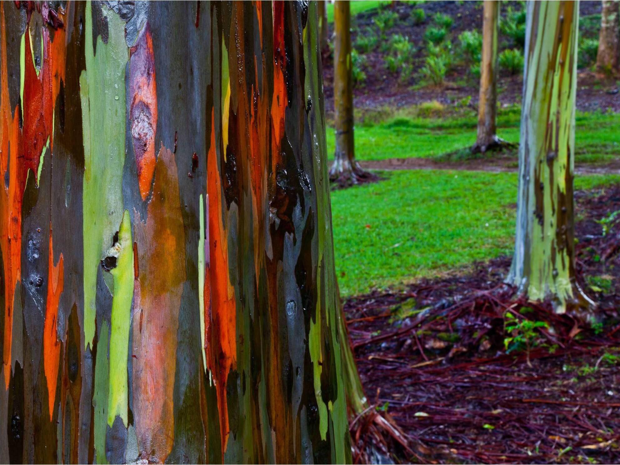 Image: Rainbow Eucalyptus Trees, Kaua'i Hawai'i Originally retrieved from :  ow.ly/Mvy08