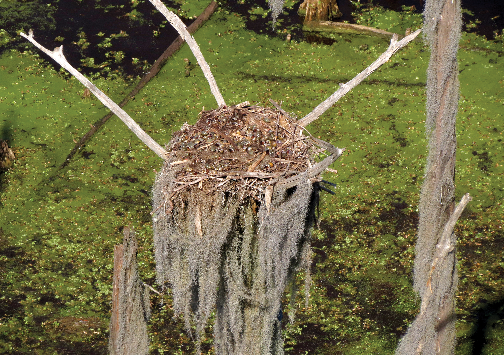 Bald_Eagle_nest_filled_with_apple_snails.png