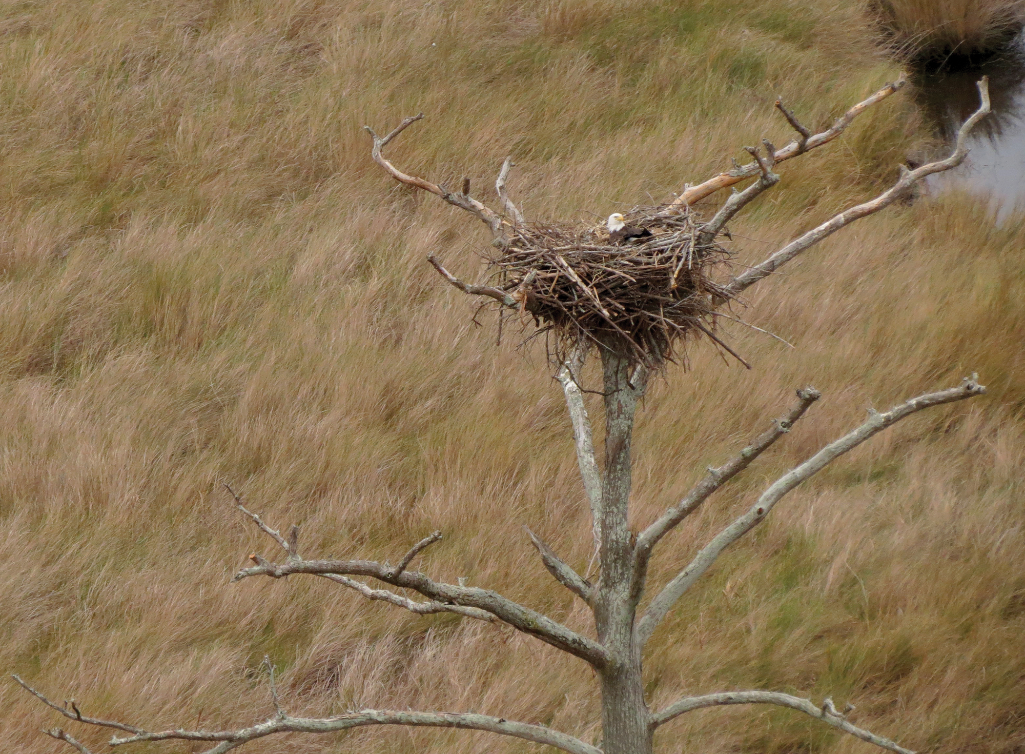 Bald_Eagle_nest.png