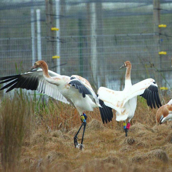 Whooping Crane Reintroduction